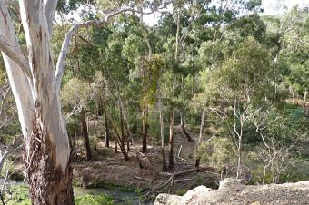 manna gums at plenty gorge
